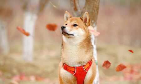shiba dog real